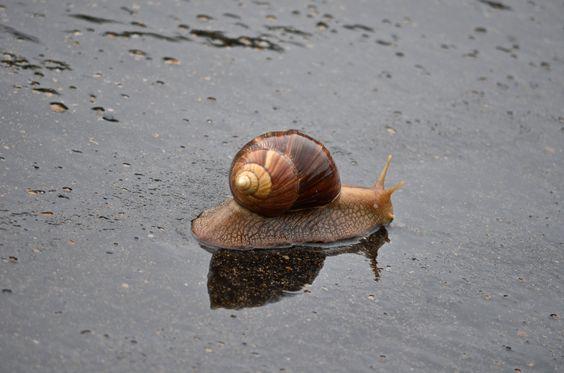 Giant snail in Kruger National Park, South Africa