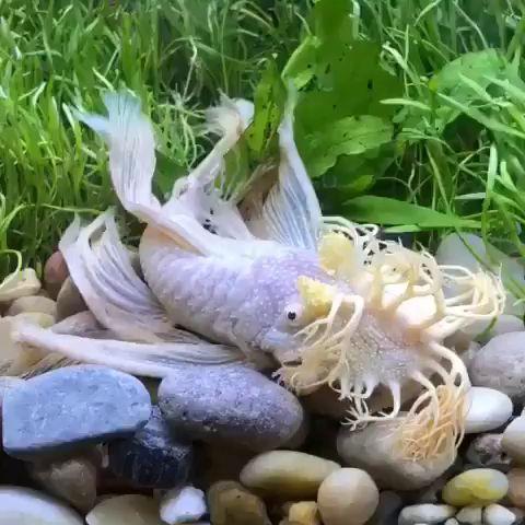 An Albino Long Fin Bristlenose Pleco Video Tropical Freshwater Fish Freshwater Fish Pleco Fish