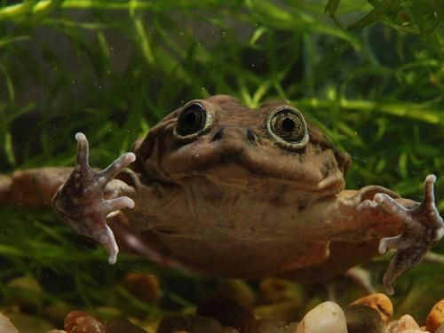 frog from Peru