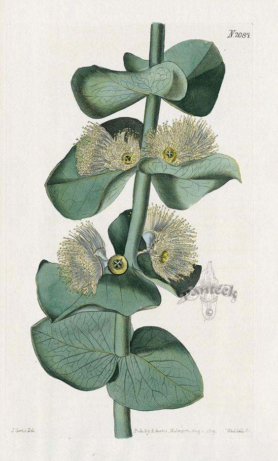 Eucalyptus Pulverulenta from Historical botanical drawings of Australian plants