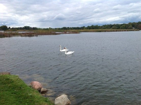Swans on Otter/Sylvan Lake
