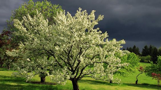 flowering trees | flowering trees in spring