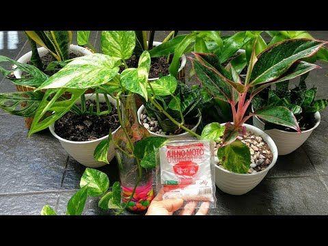 Vetsin Micin Dan Air Cucian Beras Untuk Penyubur Tanaman How To Use Vetsin For Plants Youtube Plants Garden Fertilizer