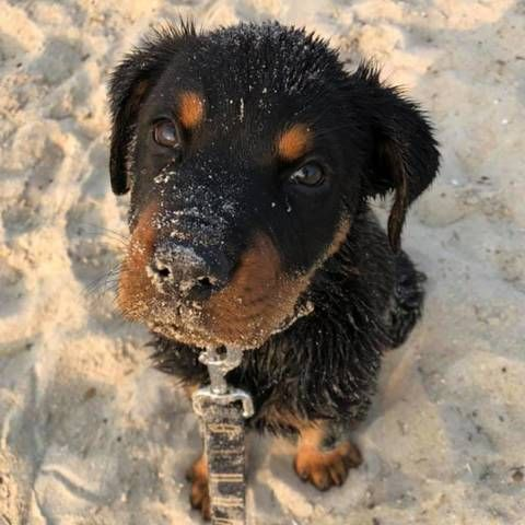 Brock Rottweiler Brock Is A 4 And Half Month Old Rotty From Tasmania And We Brought Him Back To Victoria Brock In 2020 Pet Photo Contest Rottweiler Rottweiler Dog