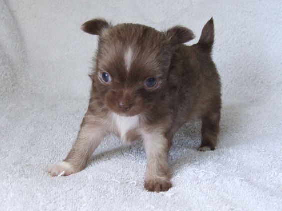6 Week Old Long Hair Chihuahua Puppies Zoe Fans Blog Cute Baby Animals Chiweenie Puppies Baby Animals