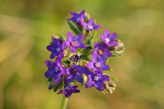 images of anchusa - Google Search