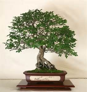 Zelkova Bonsai (Japanese Elm) - This very beautiful Bonsai material. It has smooth silvery bark and tiny textured leaves that are a lot like the Chinese Elm.