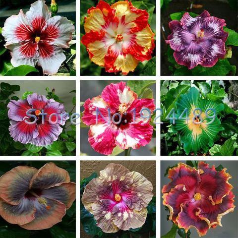 Rare 24 Different Colors Japanese Bonsai Hibiscus Seeds 50pcs Garden Patio Potted Flowers Flower Pots Hibiscus Patio Pots