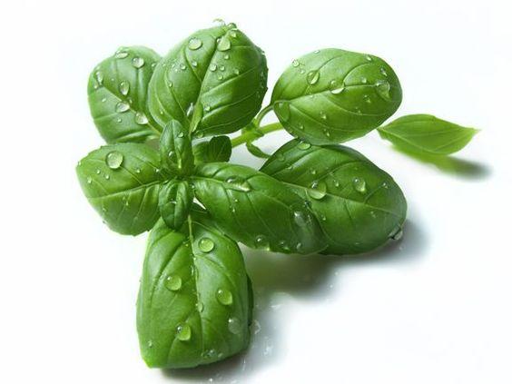 6. Wassereinlagerung adé: Basilikum Diese Pflanze entwässert den Körper. Sie stammt ursprünglich aus Indien, verbreitete sich aber schnell bis zu uns. Basilikum schmeckt süßlich und manchmal auch pfeffrig. Es löst Wassereinlagerungen auf und passt am besten zu Tomaten, Eier- und Nudelgerichten.