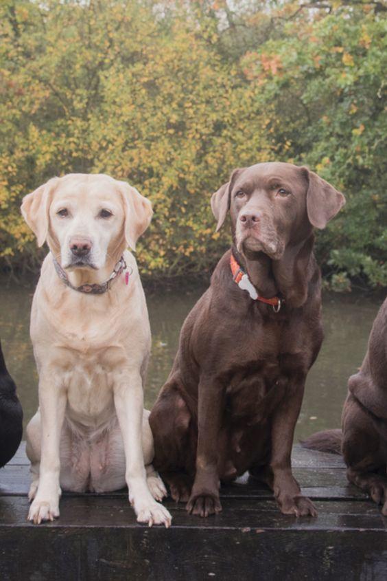 Labrador Retrievers In 2020 Labrador Retriever Golden Retriever Labrador Labrador