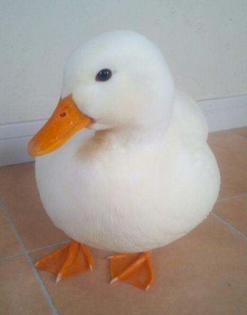 tomie 富江 Pretty Animals Cute Little Animals Pet Ducks