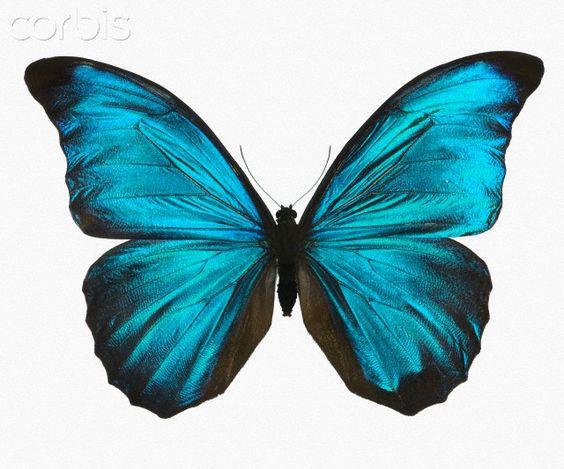 Blue Morpho Butterfly | Male adult Blue Morpho Butterfly (Morpho amathonte)