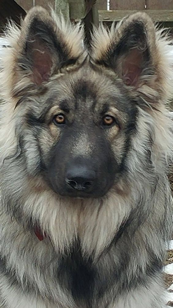 Pin By Kandy On Animals Dogs German Shepherd Dogs Dogs Puppies