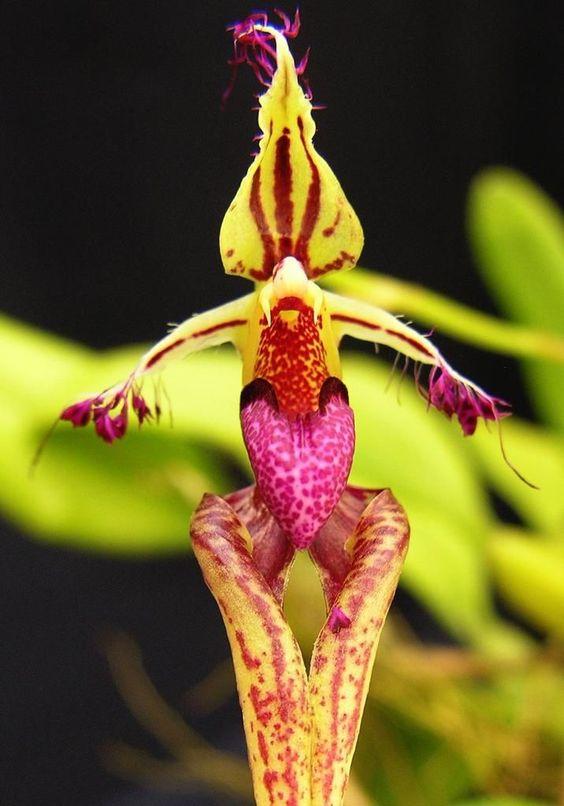 Bulbophyllum ornatissimum [Синоним: Bulbophyllum putidum]