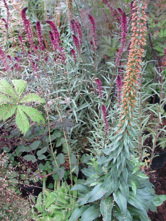 Plant design with Digitalis parviflora u0027Milk Chocolateu0027 and