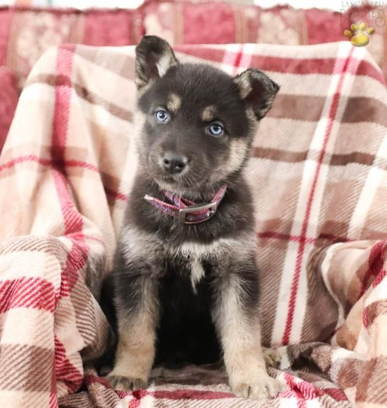 Hazel German Shepherd Husky Puppy For Sale In Thompsontown Pa