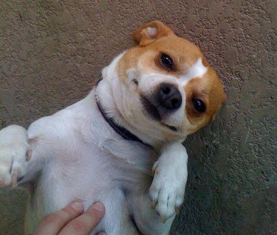 My baby boy....Bobby (Chihuahua/Jack Russel) Lulu