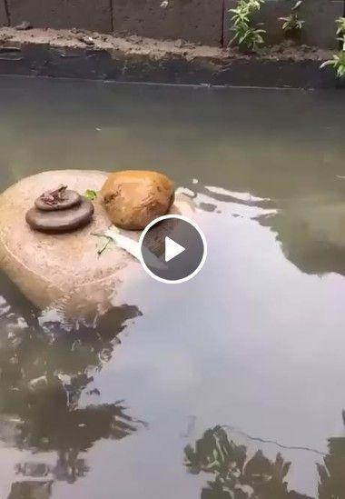 Tartaruga ajuda peixe a voltar para aguá.