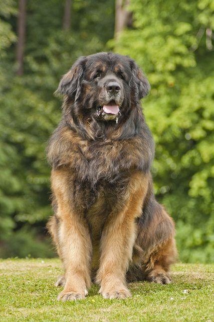 Leonberger dog, intelligent, affectionate, good with ...
