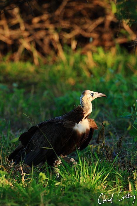 Hooded Vulture. Motswari Game Preserve.