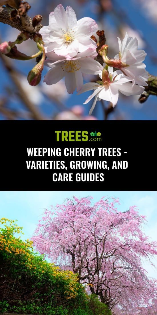 Weeping Cherry Trees Varieties Growing And Care Guides Weeping Cherry Tree Cherry Tree Varieties Cherry Tree
