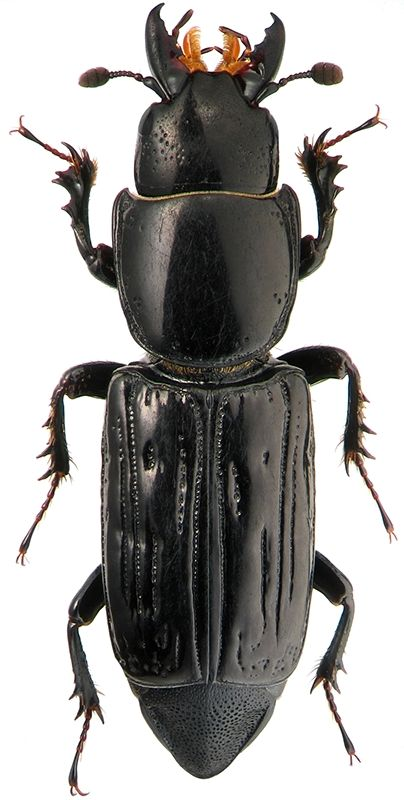 Synteliidae - Pesquisa Google