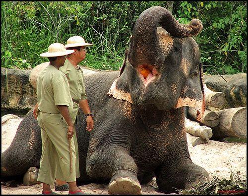Elephant feeding time!