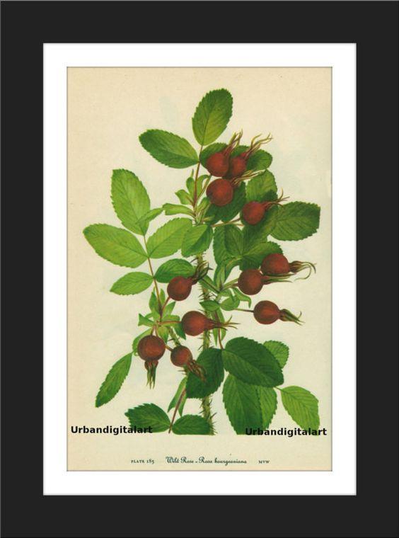 Wild Rose 2-Downloadable Vintage  Art Print by UrbanDigitalArt