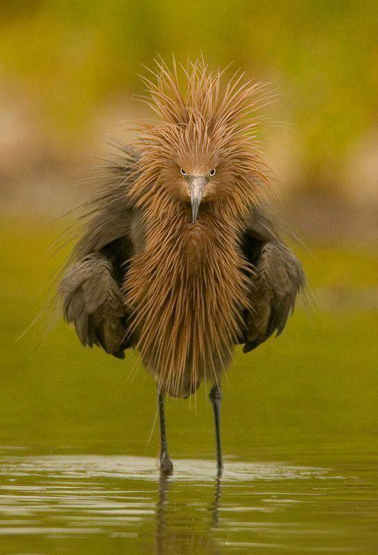 Garça-avermelhada-da-florida. Uma de suas características marcantes é sua aparência de esquentadinha, sempre parecendo estar irritada.
