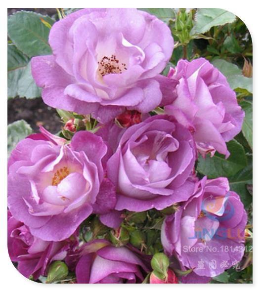 100 основная семена восхождение роуз семена голубая луна цветок двойной купить на AliExpress