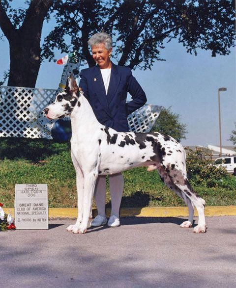 Obtain Excellent Recommendations On Great Danes They Are