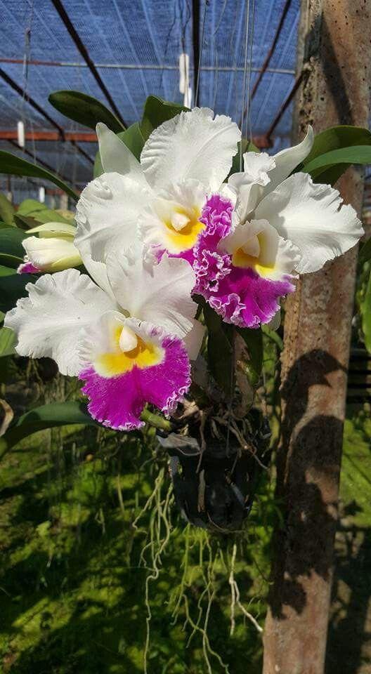 Pin De Flowers In Heart Em Cattleya Orchids Orquidea Orquidarios Flores