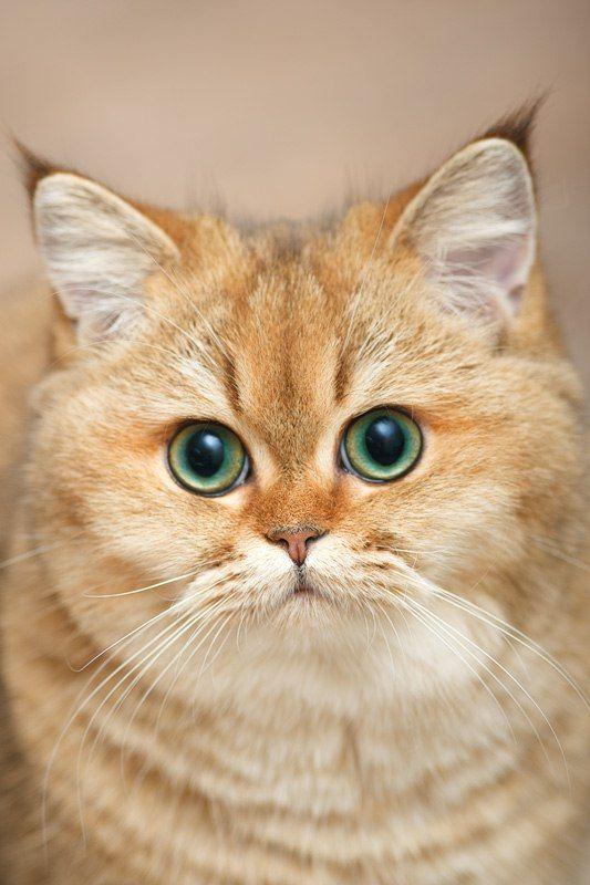 Myata, cats, bri cats, british shorthair, ny 25, british golden cat, golden ticked cat, golden shaded cat: