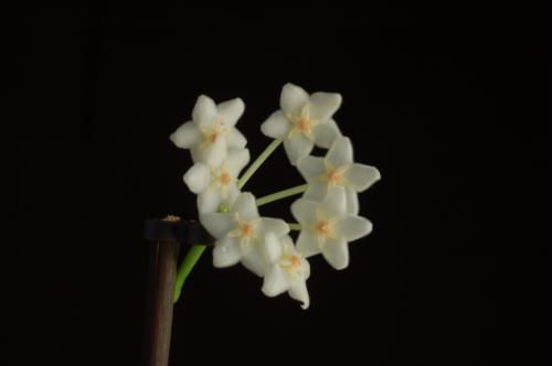 Hoya eitapensis