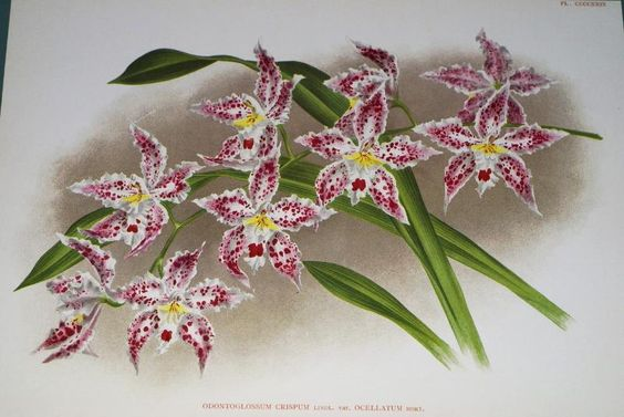 Lindenia Print Limited Edition Odontoglossum Crispum Var Occelatum Orchid  cheetahdmr@aol.com asmatcollection on ebay and bonanza.com