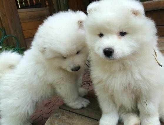 Samoyed Puppies For Sale Los Angeles Ca Samoyed Puppies For Sale Samoyed Puppy Samoyed