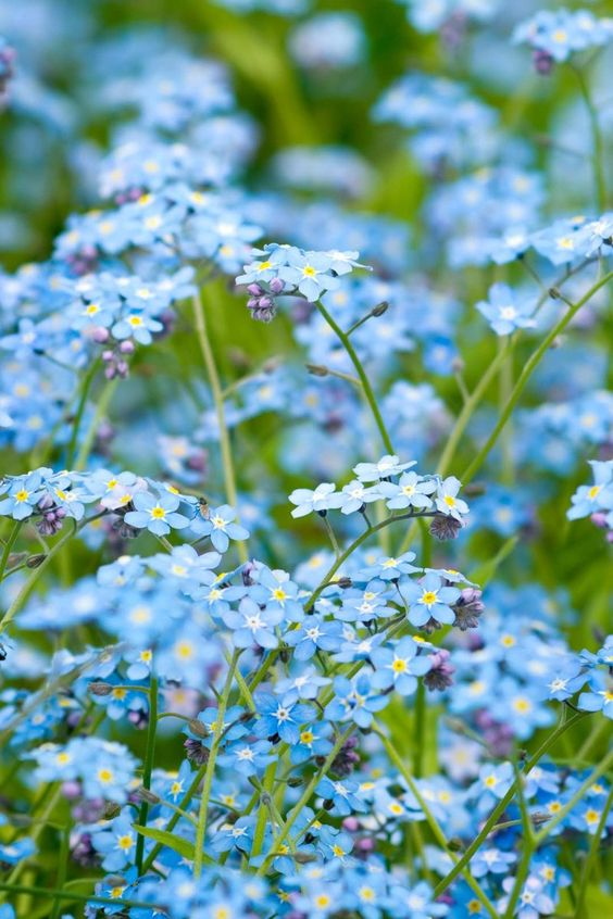 ⭐ blue green forget me not . flowers . 201606
