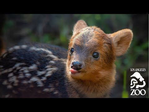 Meet Haechan The Pudu At The L A Zoo Youtube Baby Animals Pictures Baby Animals Funny Animals