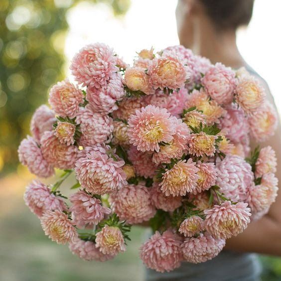 China Aster Tower Chamois Apricot Flower Farm Beautiful Flowers Garden Aster Flower