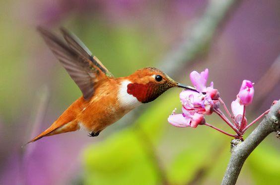 Rufous Hummingbird sipping nectar on flower.