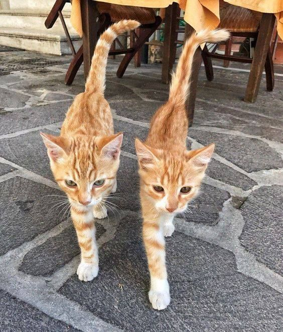 Synchronized Strutting Cute Animals Cute Cats Beautiful Cats