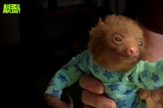 Rescued Baby Sloth in Pajamas