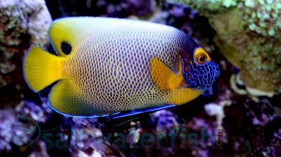 Blueface Angelfish Saltwater Fish Angelfish Large In 2020 Angel Fish Fish Saltwater Tank