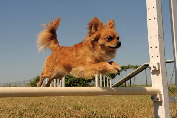 Hunde-Hindernislauf: Wer sagt das Chihuahuas nicht springen können? — Bild: Shutterstock / cynoclub    www.einfachtierisch.de