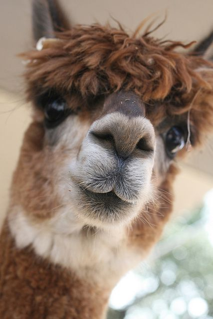 I'm going to get a lama for my farm so I can have baby lamas!!!!!!!<--that's an alpaca:
