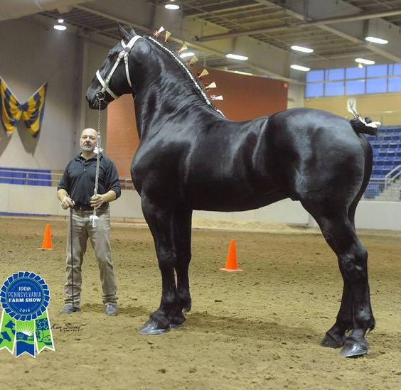 This black stallion is huge! Shiny coat with mane and tail done up. Beautiful show horse. I think maybe Percheron? Gorgeous animal, magnificent horse!