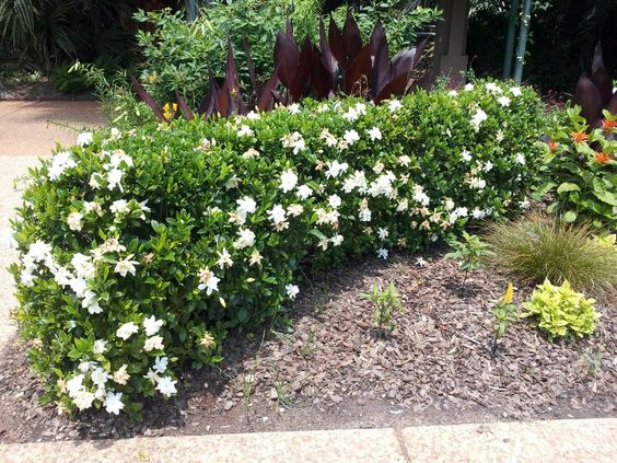 Another Example Of A Low Gardenia Hedge I Was Thinking Of Something A Bit Squarer Almost Like Hedges Landscaping Front Garden Design Landscaping Inspiration