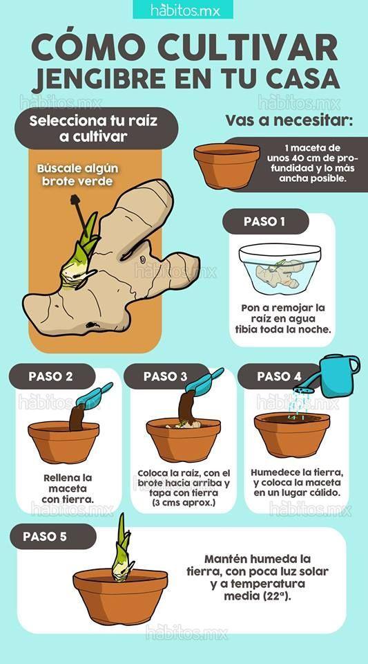 Cultivar jengibre en casa huerto en casa pinterest - Plantas aromaticas en casa ...