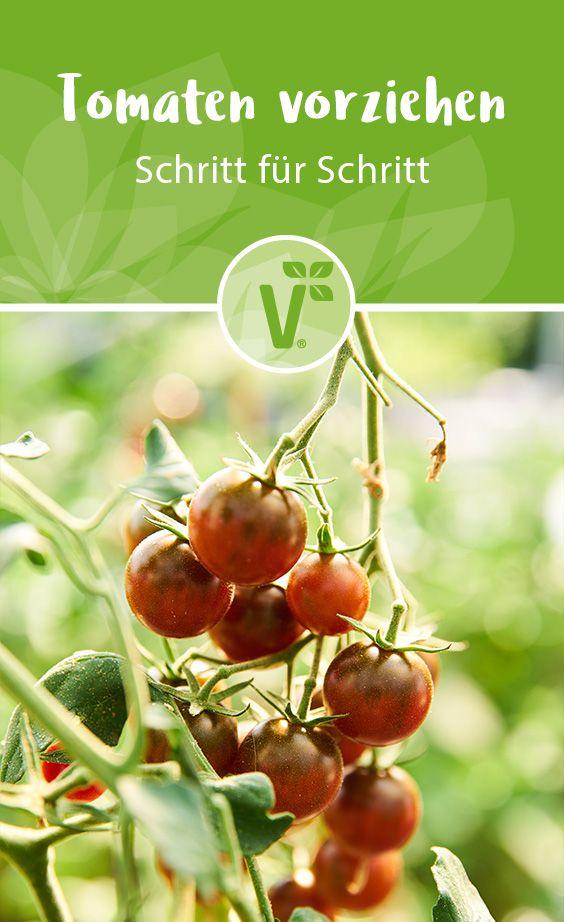 Tomaten Aussaen So Gelingt Die Aussaat Von Tomaten In 2020 Tomaten Pflanzen Pflanzen Garten Pflanzen