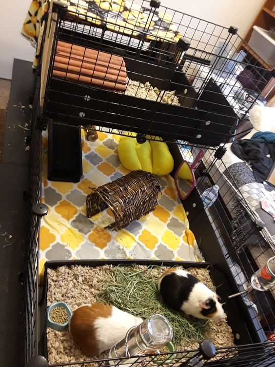 Pin On Guinea Pig Cages Cleaning